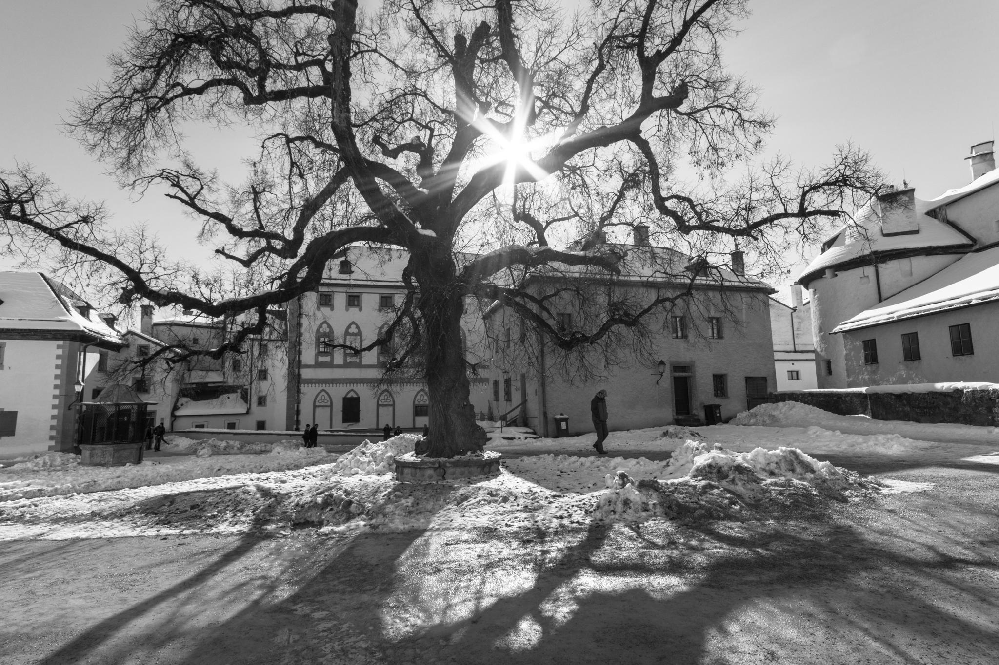 Baum im Hof der Hohensalzburg
