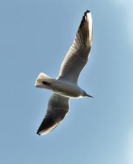 pelican(0.0), albatross(0.0), european herring gull(0.0), gannet(0.0), gull(0.0), animal(1.0), suliformes(1.0), charadriiformes(1.0), wing(1.0), beak(1.0), bird(1.0), flight(1.0), seabird(1.0),
