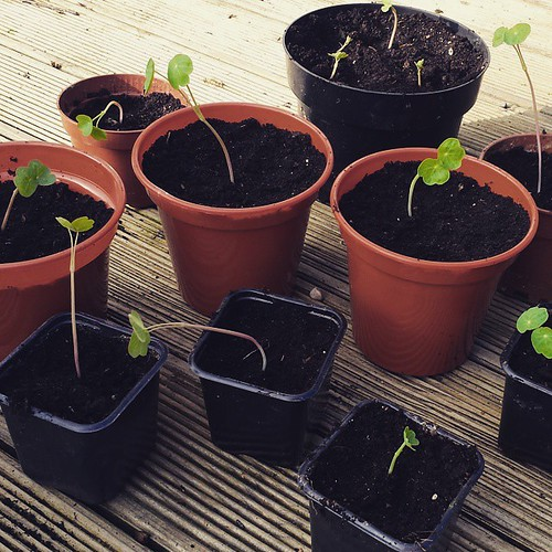 My nasturtium seeds have turned into teeny seedlings ������
