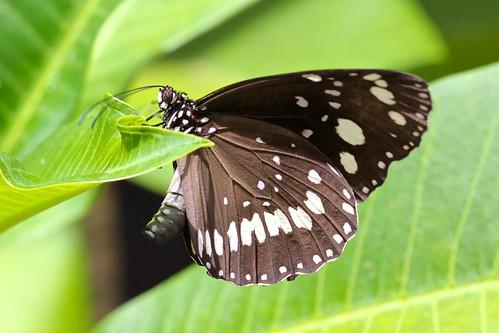 Oleander Butterfly (Euploea core)