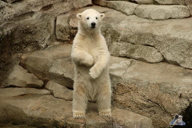 Eisbär Lili im Zoo Bremerhaven 30.04.2016 Tei 1  118