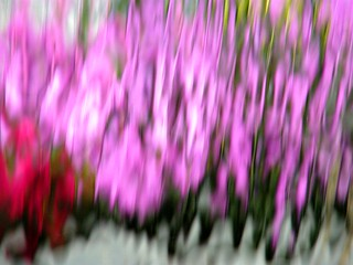 Pink Tulip Water Reflection