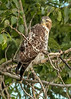 Red Tail Hawk by vees photo art gallery