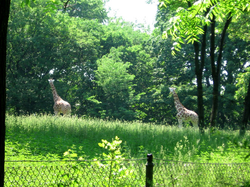 Two giraffes by Coyoty
