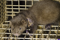 animal, marsupial, mustelidae, mammal, muridae, fauna, whiskers, pest, mink,