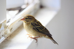 atlantic canary, animal, sparrow, ortolan bunting, wing, fauna, close-up, emberizidae, beak, house sparrow, brambling, bird,