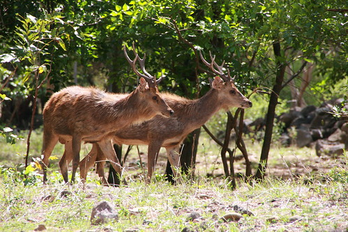 What to do in Mauritius - hunt deer