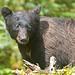 nervous Black Bear_Q2E2669 by bud_marschner