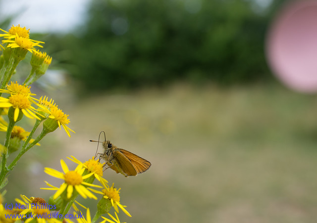 Essex skipper-4