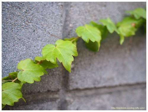 Ivy #01