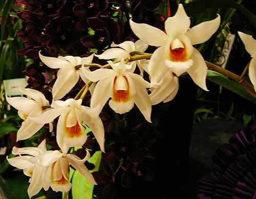 Coelogyne Janine Banks exhibited at Winter Show 2013 - Ashfield Mall