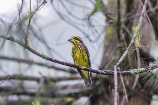 Spot-winged Grosbeak (female)