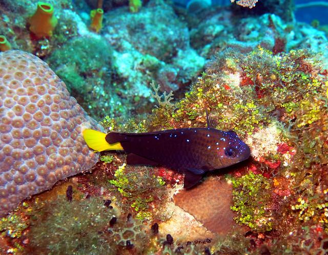 Yellowtail Damselfish | Flickr - Photo Sharing!