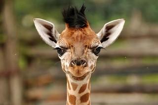 Budapest Giraffe2