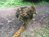 grouse3