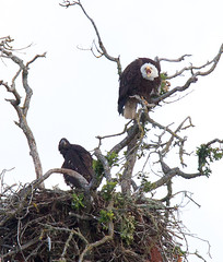 Adult eagle and fledgling Tualatin River NWR. Photo credit: Bjorn Fredrickson