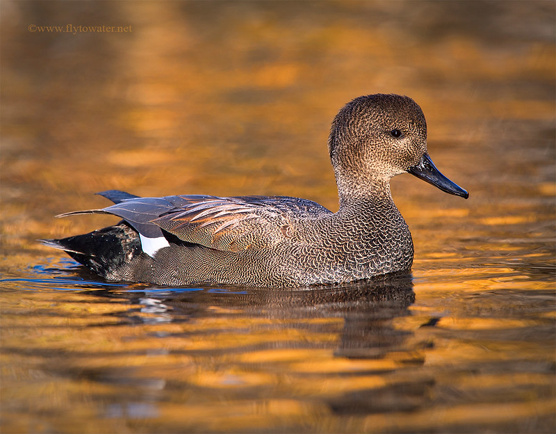 Gadwall Drake - Fall Reflections