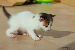 Kitten Development - Stalking kitten