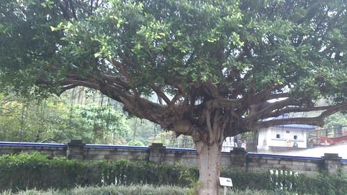 虎皮鸚鵡「妹伊」埋於中和靈骨塔大榕樹下