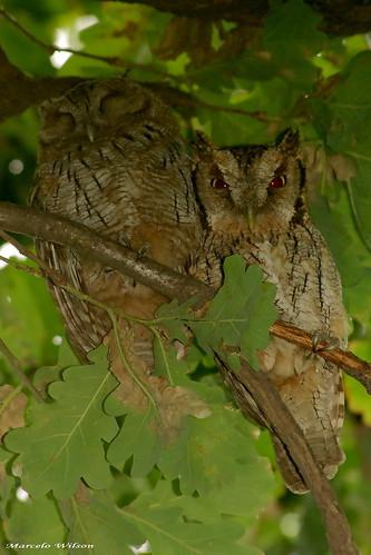 Autor: Aves... Marcelo W.