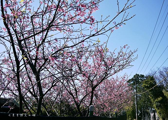 1 平菁街42巷櫻花