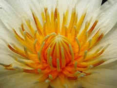 Water Lily  #55:  WHITE  #10