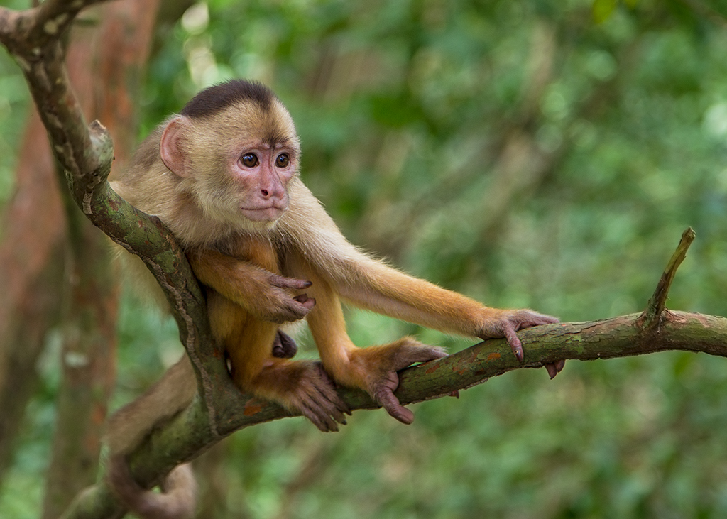 White Faced Capuchin Monkey 2014-01-24