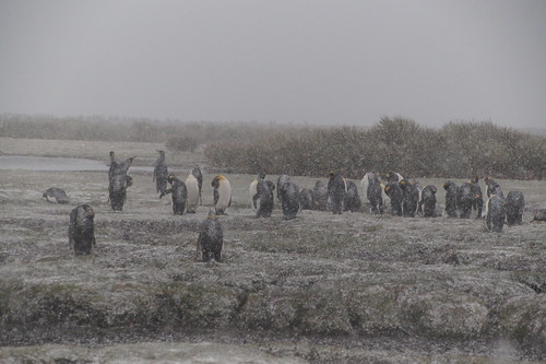 701 Koningspinguins