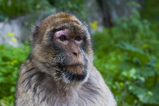 ON THE LOOK OUT (BARBARY MACAQUE).