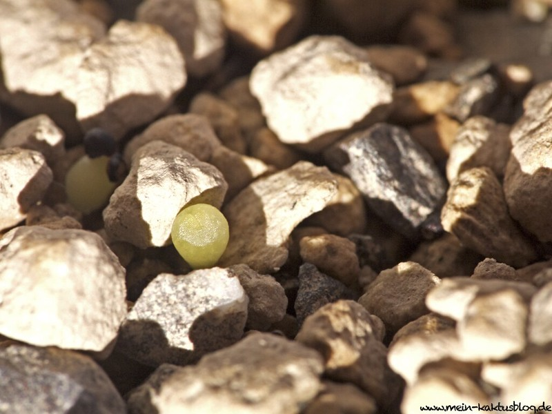 Turbinicarpus graminispinus Sämling