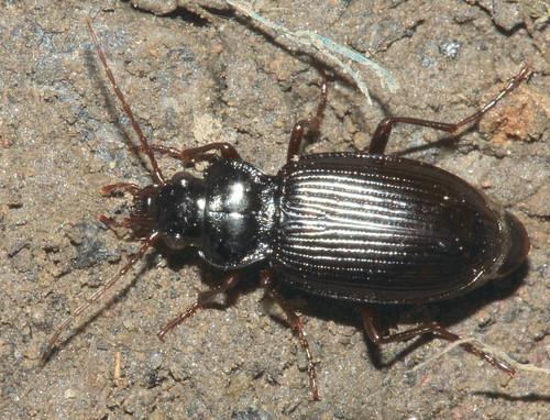 Beetle 25325