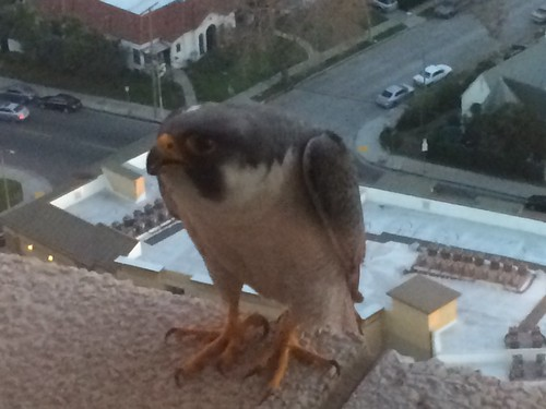 Peregrine Falcon on the ledge