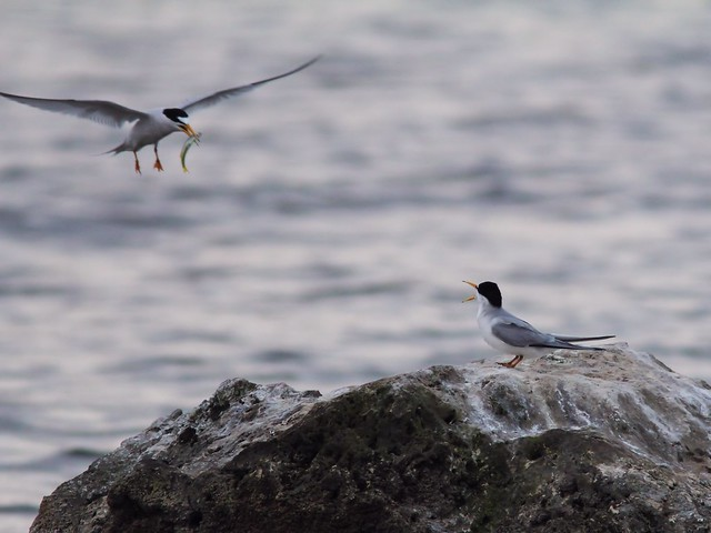 Least Tern feeding sequence 01-20140416