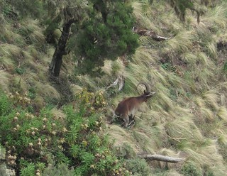 Walya-Steinböcke im Simien-Gebirge