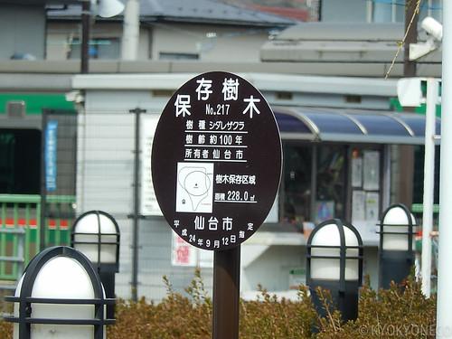 愛子駅前シダレザクラ