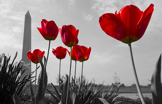 Washington Monument Tulips [EXPLORED]