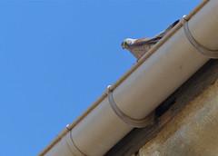 Lesser Kestrel (Falco naumanni) male on a roof