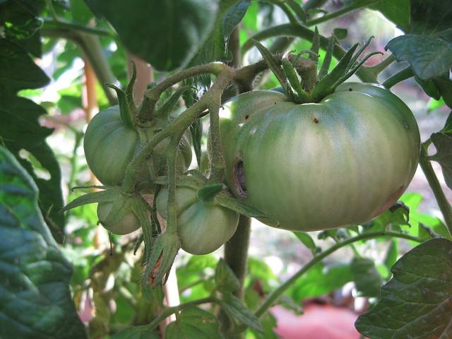 racimo tomates