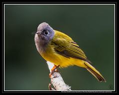 The Grey Headed Canary Flycatcher