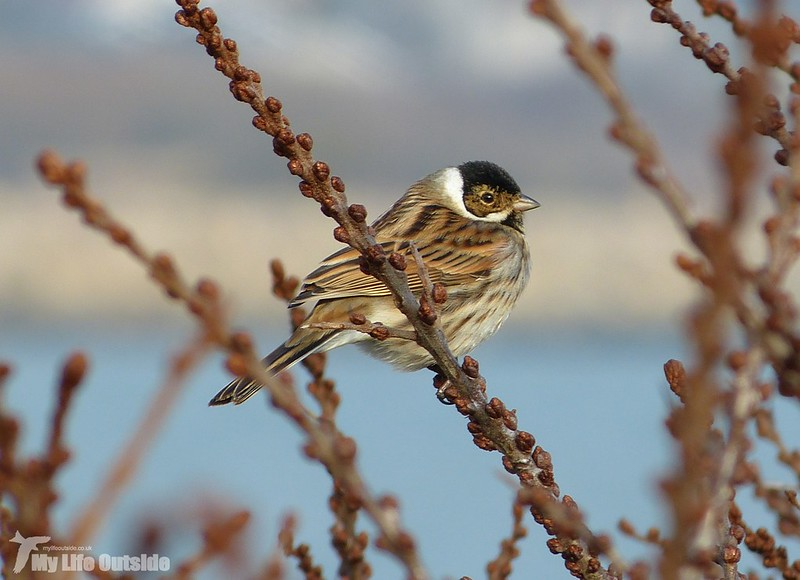 P1110112 - Reed Bunting, Burry Port