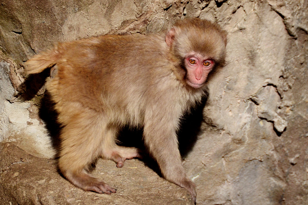 Child of Japanese Macaque of Ueno Zoo : ニホンザルの子供