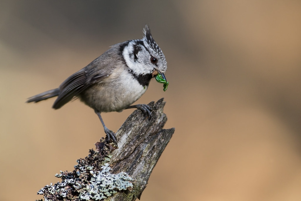 Crested Tit, Norway