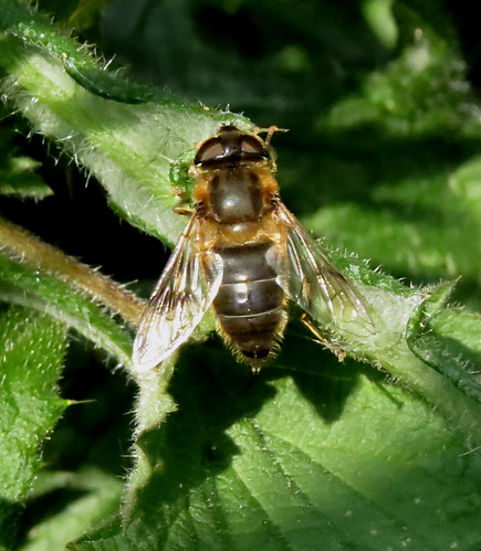 Eristalis tenax Tophill Low NR, East Yorkshire May 2016