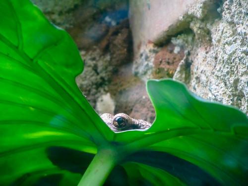 Santa Elena: mais qui voilà ? Un dinosaure ou le monstre du Loch Ness ? Mais nooon, c'est juste la plus grande grenouille du Costa Rica.