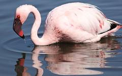 Lesser Flamingo, Phoenicopterus minor at Marievale Nature Reserve, Gauteng, South Africa
