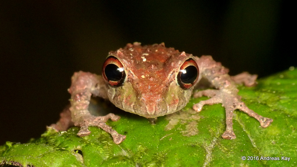 Rainfrog, Pristimantis sobetes
