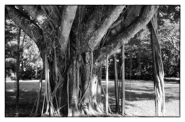 Banyan Tree - Palm Beach, FL
