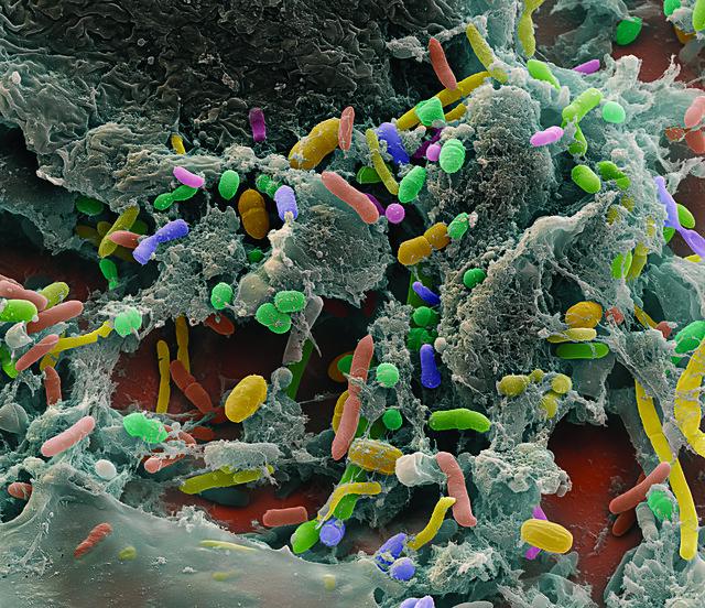 Intestinal Bacteria