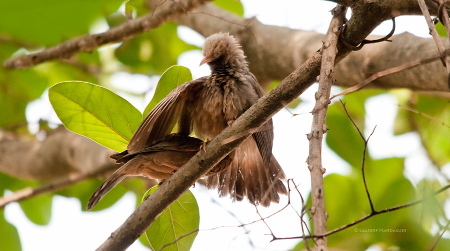 Aloopreening Jungle Babblers