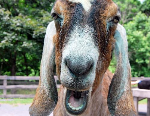MZ - talking goat-001